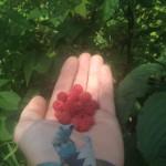 Wild Raspberries on Harmon Hill Outside Bennington, Vermont