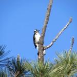 Woodpecker in the Southern Sierra Nevada