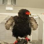Bateleur Eagle at the World Bird Sanctuary in St Louis