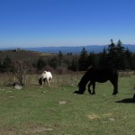 Ponies in Grayson Highlands, Virginia