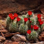 Claret Cup Cactus on Squaw Butte
