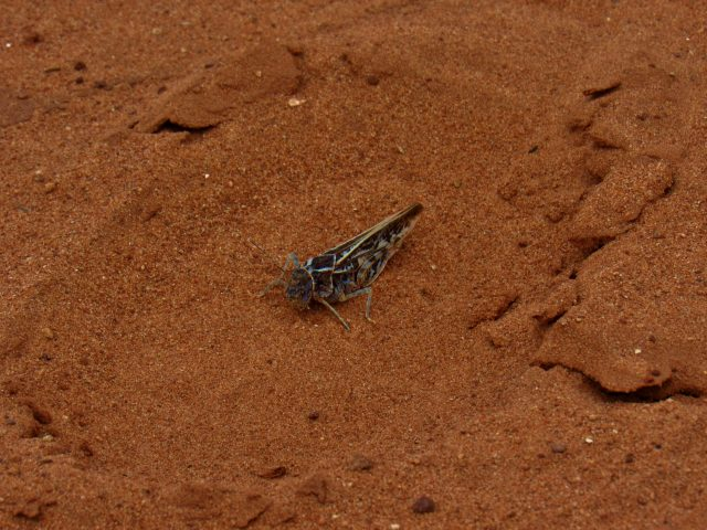 Cricket in Horse Canyon