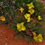Evening Primrose in Big Spring Canyon
