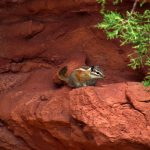 Hopi Chipmunk on Squaw Butte