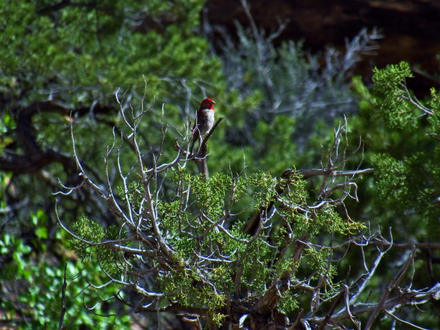 Pine Grosbeak in Lost Canyon