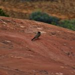 Say's Phoebe on Squaw Butte