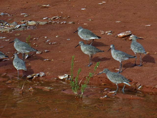 Willets in Salt Creek Canyon