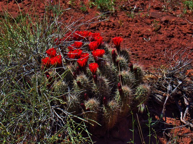 Claret Cup Cactus on the Kane Springs Road