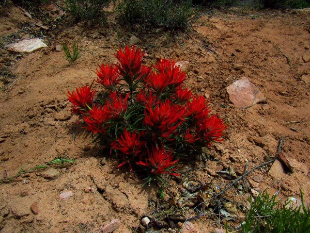 Desert Paintbrush in Negro Bill Canyon