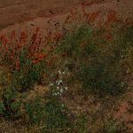 Orange Globe Mallow on Kane Springs Road