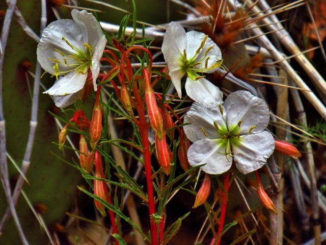 Pale Evening Primrose in Negro Bill Canyon