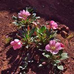 Tufted Evening Primrose in the Portal