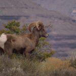 Desert Bighorn
